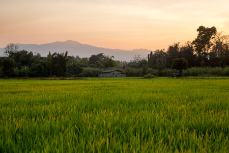 agriculturalist: Sunset rice field in Chianh Mai , thailand
