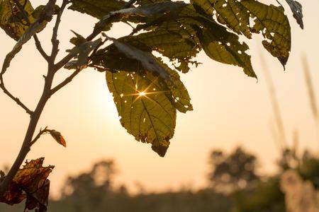 albero da frutto: albero foglia retroilluminato con un foro attraverso il quale la luce del sole Archivio Fotografico