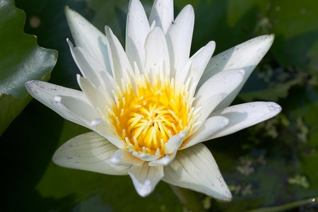 Lotus flower was very important in the religion  Meaning creation and rebirth  photo