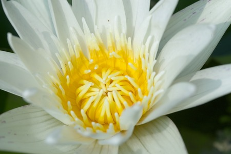 Lotus flower was very important in the religion meaning creation lotus flower was very important in the religion meaning creation and rebirth stock photo 27425814 mightylinksfo