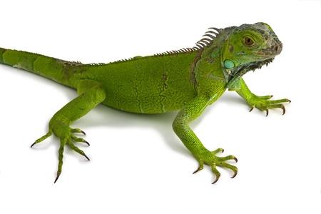 green iguana in white background