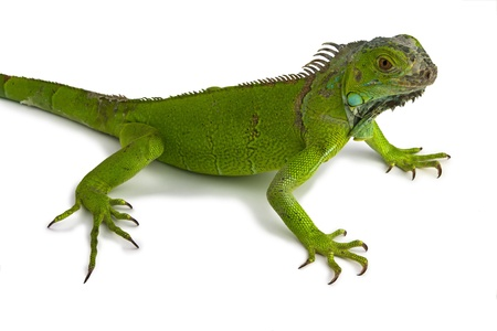 green iguana in white background