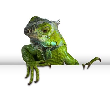 green iguana peeking in white background photo