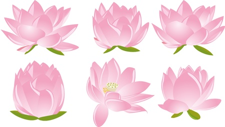 illustration of  six beautiful pink lotus(waterlily) in white background