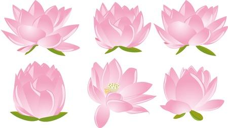 white lotus flower: illustration of  six beautiful pink lotus(waterlily) in white background