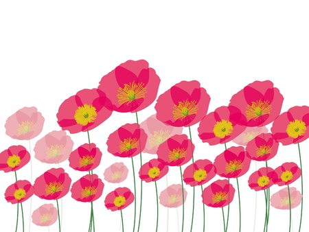 Row of poppy flowers isolated on white background  Illustration
