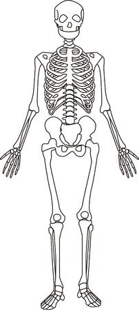 skeleton anatomy: Human skeletons