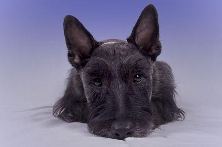 Scottish Terrier puppy Фото со стока