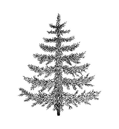 evergreen: Hand drawn evergreen tree without decorations. Sketch spruce, fir, fur, pine. Vector illustration for vintage card.