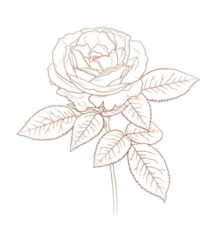 Beautiful hand drawn high detailed rose for greeting card, wedding design, vintage design. Vector illustration. 向量圖像