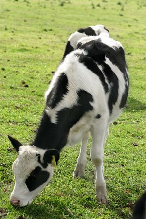 dairy cattle: Dairy cattle grazing Stock Photo