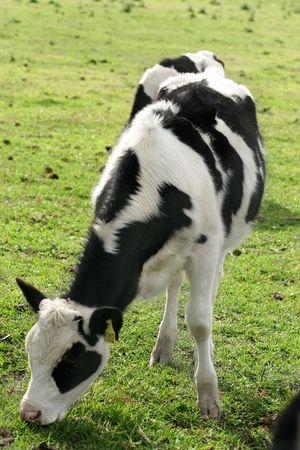 Pastoreo de ganado lechero  Foto de archivo - 220650