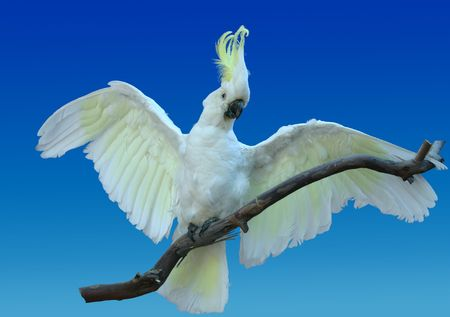 Life-like cockatoo - this is a taxidermy photo