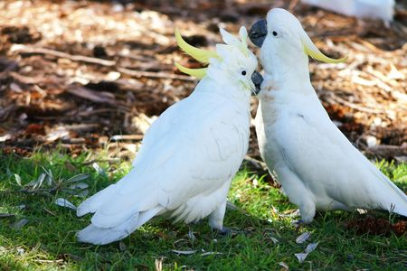 cockatoos: Canoodling cockatoos in the wild.