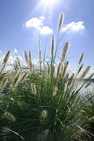 grasses: Ornamental grasses soak up the autumn sunshine.(Pennisetum alopecuroides)