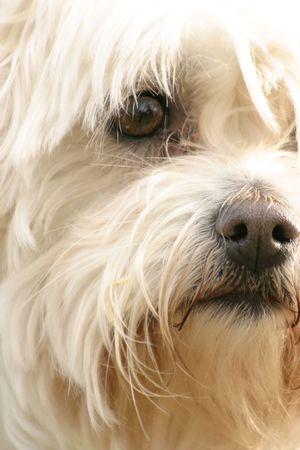 husbandry: A scruffy maltese terrier