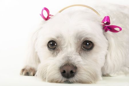 Pampered Pooch -Maltese dog with pink ribbons Stock Photo