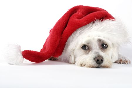 maltese dog: Christmas pooch resting with a santa hat