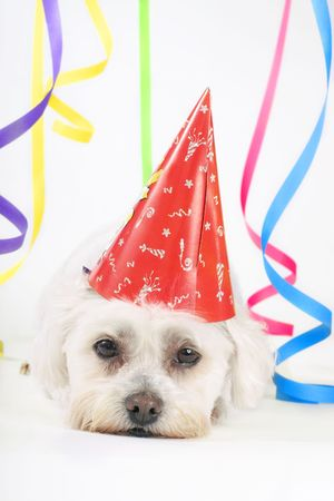dog costume: Party Animal - Small white dog with a party hat amongst colourful streamers.
