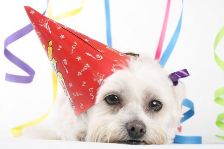 maltese dog: Party Pooch - Pooped