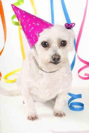 Party Time - White dog, party hat and streamers Stock Photo - 263490