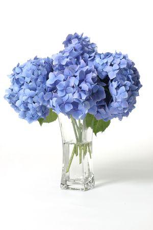 flores peque�as: Hydrangeas de Mophead en un florero de cristal. Mopheads m�s grandes del producto de Hydrangeas compusieron de los racimos de flores peque�as a partir del verano con oto�o. El color de la flor puede cambiar de los azul purples a trav�s a los colores de rosa, dependiendo del pH de su suelo. Los suelos �cidos