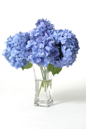 Mophead hydrangeas in a glass vase.    Hydrangeas produce larger mopheads made up of clusters of small flowers from Summer through Autumn.  Flower colour can change from blues purples through to pinks, depending on the ph of your soil.  Acidic soils will Stock Photo
