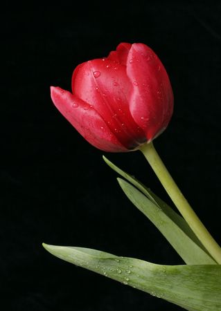 glistening: A red tulip with glistening beads of water on petals, stem and leaves against a dark background