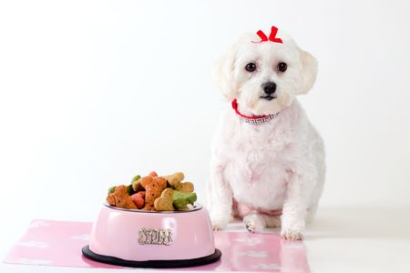 obedient: Obedient dog sitting by a bowl of dog food.