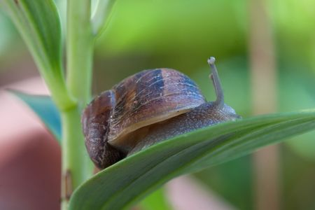 identified: A slimy snail moves along a plant leaf with inquisitive eyes looking up. Snails and slugs are gastropods, which make up the largest class of mollusks with more than 60,000 species. Most of these species can be identified by their shells. Snails are found
