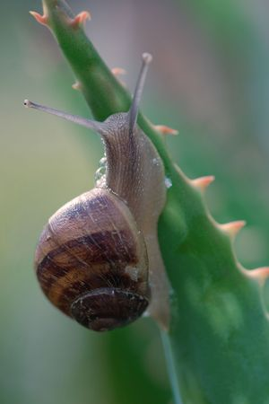 mucus: A snail climbing a spikey aloe plant.  The snail is able to move on very sharp pointed needles,razors and vines without being injured because its mucus secretion helps to protect its body. The foot, which is mostly muscle tissue, is the main source of pro Stock Photo