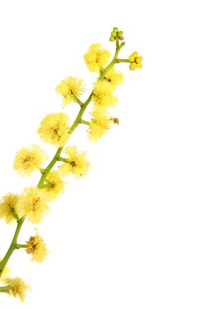 wattle: Wattle flowers are  small, yellow and fragrant with many stamens, giving the flower a fuzzy appearance. The acacia flower heads are made up of lots of (up to 130 or more)  little flowers bundled together and can be globular or cylindrical.  This one has g Stock Photo