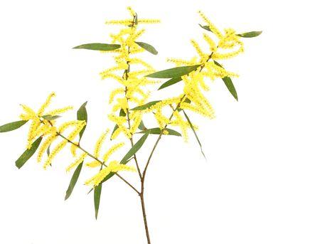 plants species: Questo acacia ha nflorescences picco di forma cilindrica e una foglia piana struttura, chiamata phyllodes. Re acacia (Eucerocoris tumidiceps) possono causare danni al fogliame di bargigli con phyllodes ed � difficile da controllare. Ci sono 1350 specie di acac