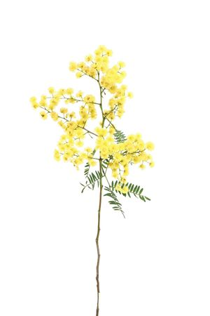 wattle: Specimen sprig of ornamental wattle, which has bright yellow globular inflorences and small  green bipinnate fernlike leaflets.  There are over 1000 species of wattle.  Wattle is Australias national flower.