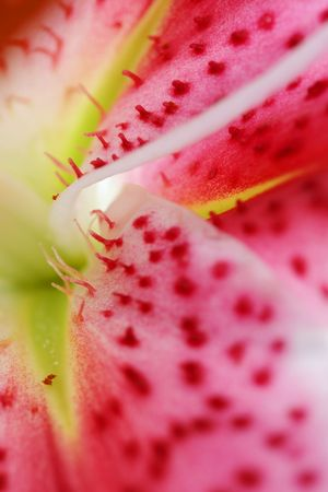 stargazer lily: Abstract explosion of colours.  A closeup of the beautiful oriental Stargazer Lily.