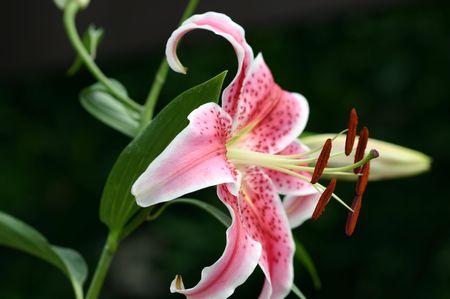 stargazer lily: Pink stargazer lily blooming in the garden.