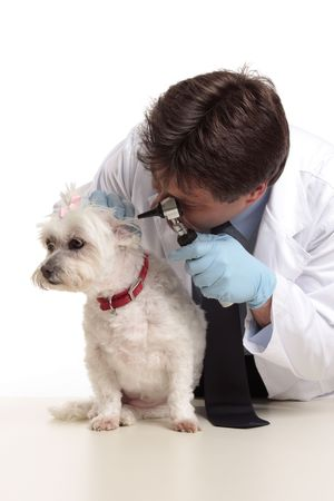 A veterinarian checking the ears of a small white maltese terrier photo