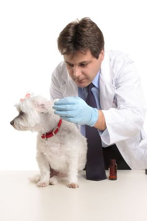 husbandry: A male vet administering a dose of medicine drops into a dogs ears.  Focus to dog.