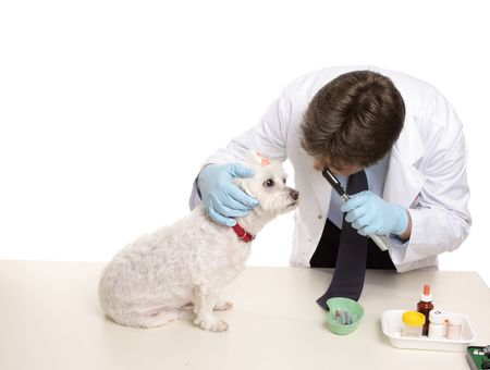 A maltese terrier receives a checkup at a veterinary clinic. Stock Photo