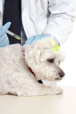 tierschutz: Tierarzt mit einem maltesischen Terrier einer Nadel Injektion. Fokus auf die Spritze.