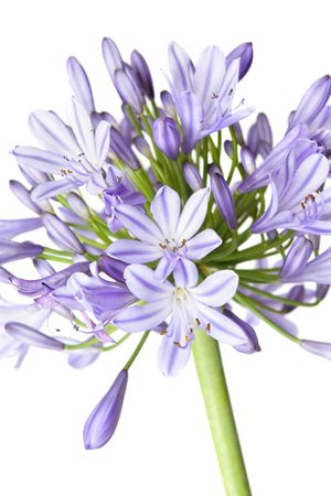 Agapanthus flowerhead showing both flowers and buds - closeup photo