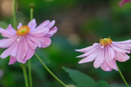 enriched: Double petalled Japanese Windflowers (anenome) flowering in the garden.  They have delicate petals and love fertile enriched soils.