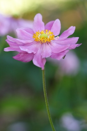 windflower: Double petalled anenome Japanese Windflower in pink.  Perennial herb. They prefer fertile organic enriched soil and their name is given because they are often found growing in windy areas.  This photo has a very shallow dof.