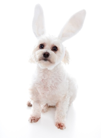 An alert white fluffy little dog wearing white bunny ears, suitable for humour or easter.  White background. photo