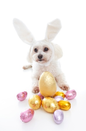 A cute white maltese terrier dog wearing bunny ears and lying down among gold pink and lilac foil wrapped chocolate easter eggs. Stock Photo