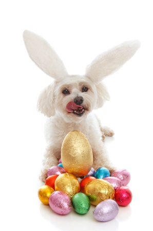 A white maltese terrier pet dog licking lips sitting among a selection of colourful chocolate easter eggs.  White background. photo