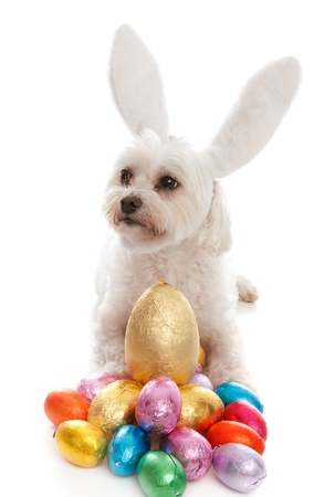 A pampered white maltese terrier dog wearing white bunny ears among lots of colorful chocolate easter eggs.  White background. photo