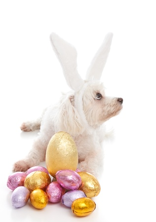 A pet maltese terrier dog wearing white bunny ears and sitting among chocolate easter eggs.  Dog is looking sideways suitable for a message.  White background. photo