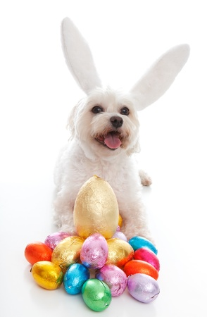 A happy easter bunny dog with lots of easter eggs.  White background. photo