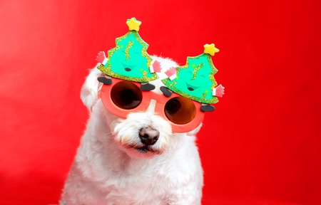 A small white dog wearing Christmas decoration glasses.